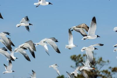 20050416 Destin Beach Birds 020