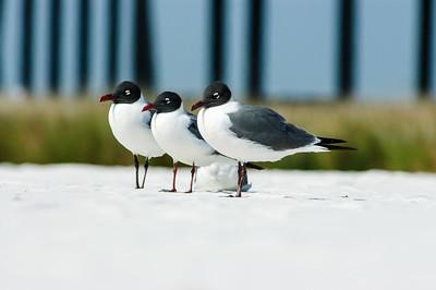 20050416 Destin Beach Birds 041