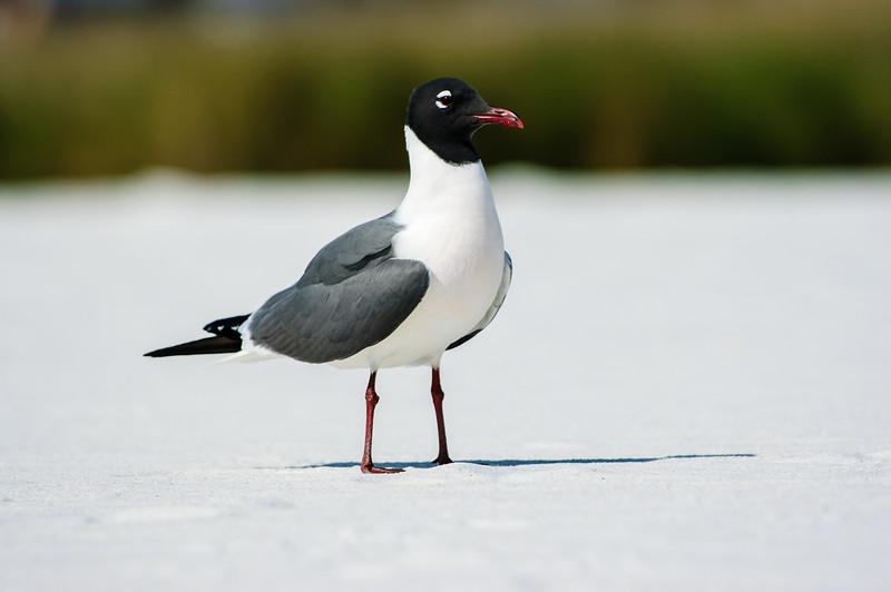 20050416 Destin Beach Birds 016