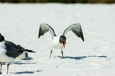 20050416 Destin Beach Birds 046