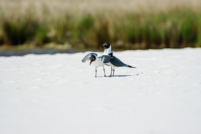 20050416 Destin Beach Birds 036