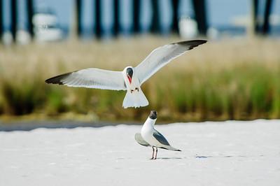 20050416 Destin Beach Birds 035