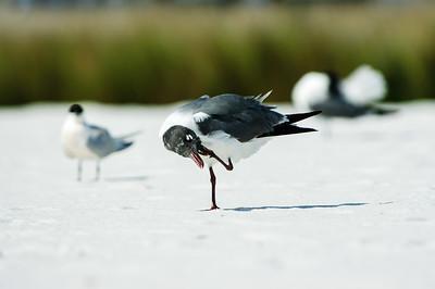 20050416 Destin Beach Birds 057