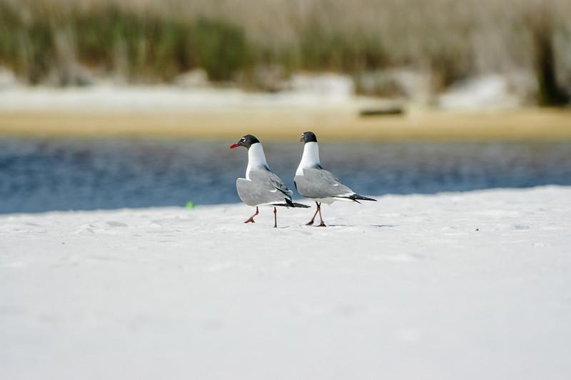 20050416 Destin Beach Birds 037