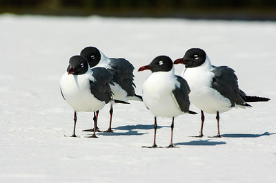 20050416 Destin Beach Birds 048