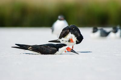 20050416 Destin Beach Birds 018