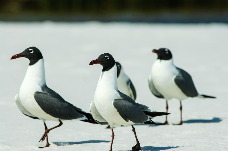 20050416 Destin Beach Birds 066