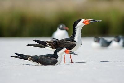 20050416 Destin Beach Birds 019
