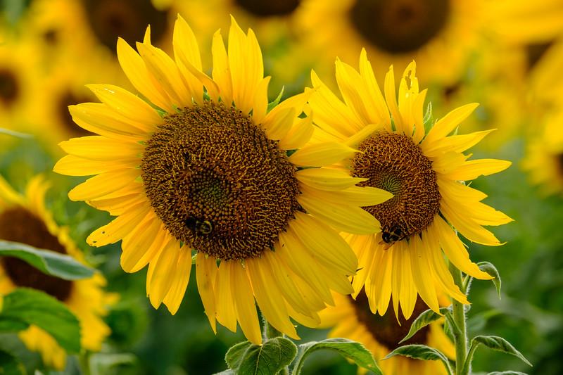 20190824 Burnside Farms Sunflowers 025