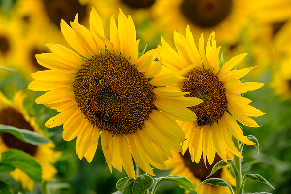 20190824 Burnside Farms Sunflowers 025