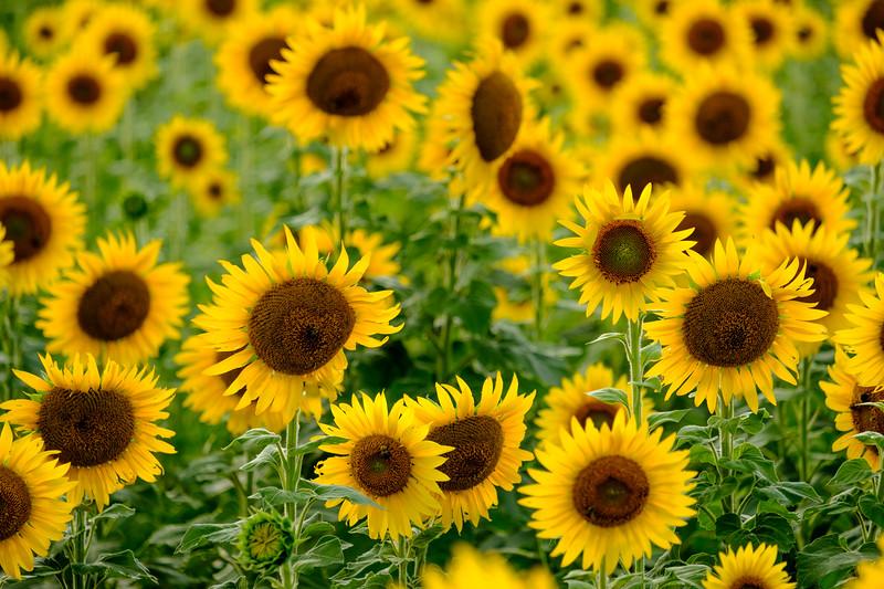 20190824 Burnside Farms Sunflowers 030