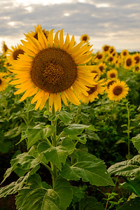 20190824 Burnside Farms Sunflowers 002