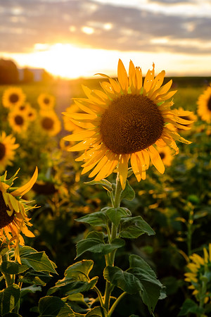 20190824 Burnside Farms Sunflowers 085-Enhanced