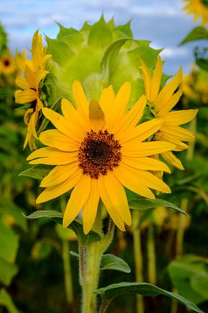 20190824 Burnside Farms Sunflowers 010