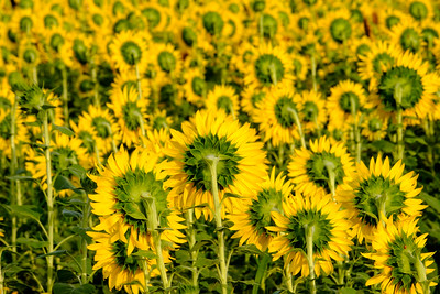 20190824 Burnside Farms Sunflowers 047