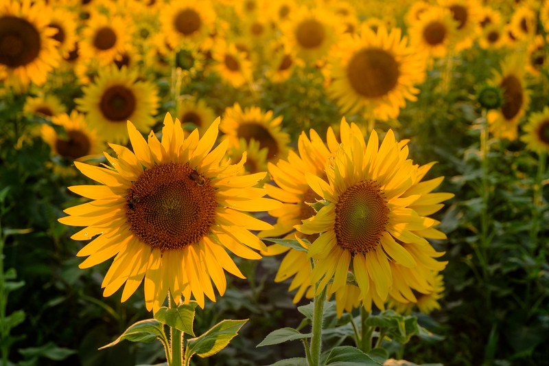 20190824 Burnside Farms Sunflowers 071-Enhanced