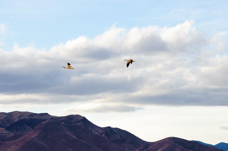 20091212 Bosque del Apache 398