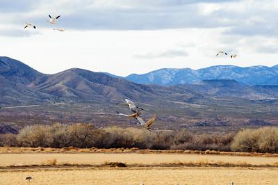 20091212 Bosque del Apache 401