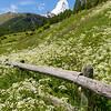 Matterhorn and Edelweiss