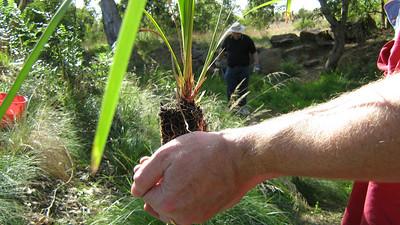 Steve holding a Lomandra ready to plant