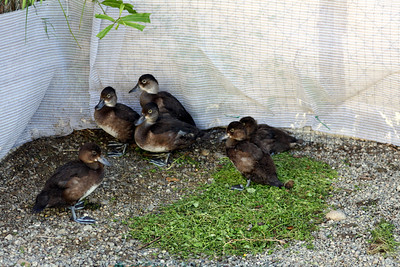 These scaups had been with us since the middle of Jiuly.0 They were released at West Chester Lagoon on 8/20/2010.