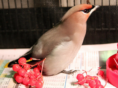 We're getting plenty of bohemian waxwings roight now. They love those Mt. Ash berries!