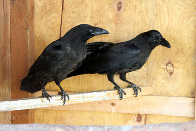 These two ravens came to Bird TLC last Tuesday from PET ER. The one on the left was shot in the leg. The other was not thriving. Both are doing well now.