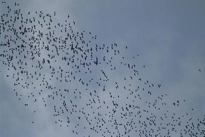 Fledermäuse Die Haupattraktion von Mulu. Aus einer Höhle kommen jeden Abend gegen 1730 unheimlich viele Fledermäuse. Das Spektakel dauerte länger als eine halbe Stunde.
