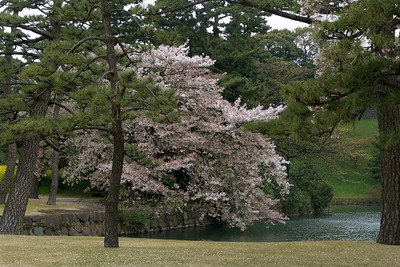 In Tokio standen die Kirschbäume in voller Blüte.