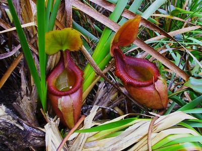 Pitcher Plants Die Insekten fallen hinei und kommen nicht wieder heraus. Im Saft der Pflanze werden sie langsam verdaut.