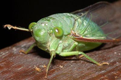 Eine Zikade.