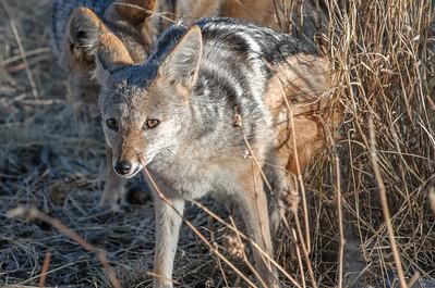 Mehrere Schakale scheuchten das andere Wild ständig auf.