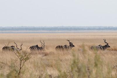 Kudu Antilopen. Die schmecken toll!