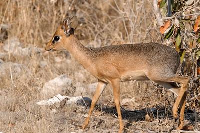 Eins der ersten Tiere, das wir im Etosha Park gesehen haben: Ein kleines Dik Dik.