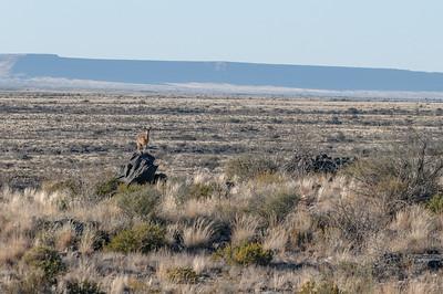Auf der Fahrt von der Hammerstein Lodge ins Erongo Gebirge sahen wir diesen Klippenspringer.