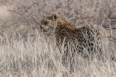 Die Leopardin Lisa ist zu gefährlich. Die konnten wir nur durch den Zaun sehen.