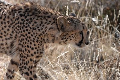 Die Geparden sind streichelzahm. Allerdings darf man nicht weglaufen wenn man Angst bekommt.
