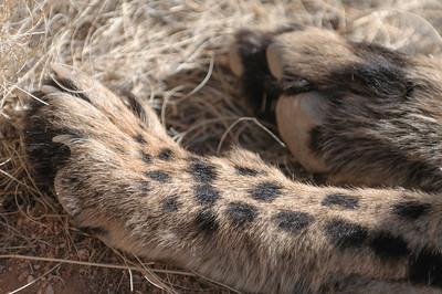 Der Gepard kann die Krallen nicht einziehen. Das hilft beim Laufen, aber klettern kann er nicht.