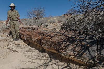 Hier der besterhaltene versteinerte Baum. Über 240Millionen Jahre alt. Die Baumstämme wuchsen wahrscheinlich in Zentralafrika und wurden hier angeschwemmt.
