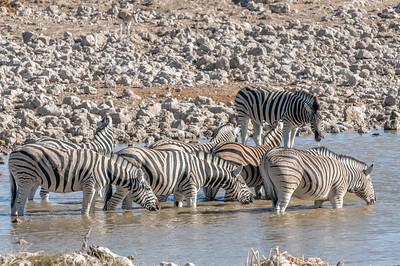 Am nächsten Wasserloch trafen wir die Zebraherde wieder.
