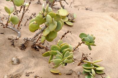 Diese Pflanze enthält viel Wasser. Es regnet wenig, aber es gibt häufig Nebel.