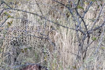 Kaum zu sehen. So gut sind die Leoparden getarnt.