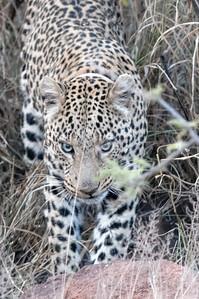 Als alle anderen Gruppen schon aufgegeben und wir uns fast festgefahren hatten sahen wir endlich den Leoparden.