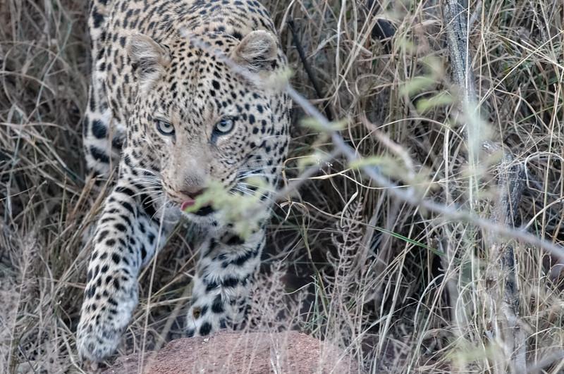 Vorher lag er 3 Meter vor dem Auto unter einem Busch und war kaum zu sehen. Nur das Knacken von Knochen war zu hören. Der Leopard hielt dort wohl seine Mahlzeit.