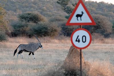 Eine Antilope quert die Strasse.