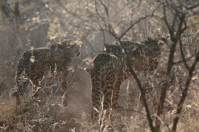 Dann sahen wir endlich die ersten Geparden. Sie hielten auf dem Weg Siesta, machten sich aber aus dem Staub als wir kamen.