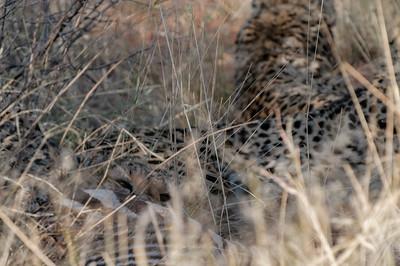 Ein Gepard speist während die anderen zwei aufpassen. Später werden wahrscheinlich Leoparden auftauchen und die Geparden verscheuchen.