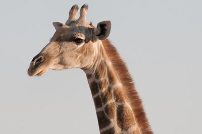 Dieses ist eine männliche Giraffe. Die Weibchen haben Haare auf den Hörnern.