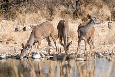 Weibliche Kudu Antilopen am Wasserloch.