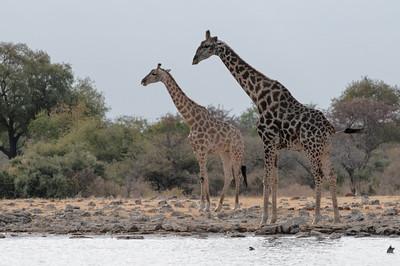 Je dunkler die Flecken der Giraffe, desto älter ist sie.